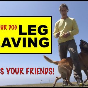 LEG WEAVE - Teach Your Dog this TRICK - Dog Tricks - Robert Cabral Dog Training