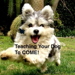 How to teach your dog to COME on leash and off leash harness/slipleash/collar only