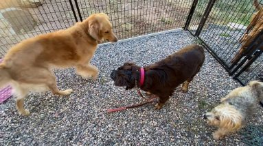 How I introduce aggressive dogs to well-balanced, friendly dogs in a rehabilitation program. Muzzle!