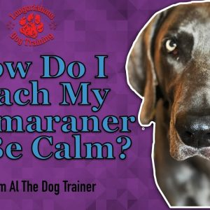 How Do I Teach My Weimaraner To Be Calm? - Tips From Al The Dog Trainer