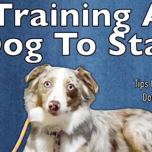 How Do I Train A Dog To Stay - Tips From Al The Dog Trainer