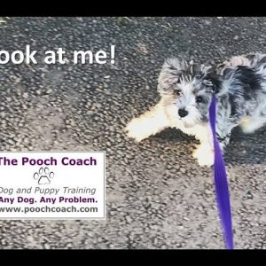 """Look At Me"" command for dogs"