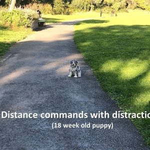 Off leash distraction training with a puppy