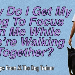 How To Get Your Dog To Focus On You While Walking Together - Tips From Al The Dog Trainer