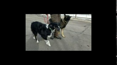 Proper way to introduce dogs. Take them on a side-by-side walk.