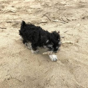 Puppy named Laff playing in the sand