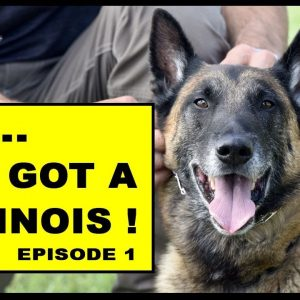 So You Got a Malinois Working Dog - episode 1 - Dog Training Video