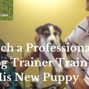 Doggy Dan's Puppy Training Program [The Online Dog Trainer]