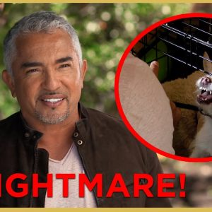 Has Cesar Met His Match? (Aggressive Dog) | Cesar911 Shorts