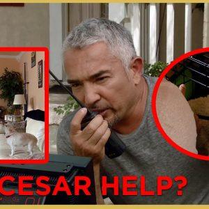 HAS CESAR MET HIS MATCH PART 2 (Aggressive Dog)  Cesar911 Shorts