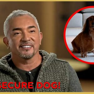 Helping an INSECURE Dog (feat. Jerry Seinfeld!) | Cesar911 Shorts