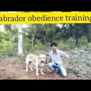 Labrador Obedience training Commands | Basic training |Online dog training (Dog Trainer Vishwajit)