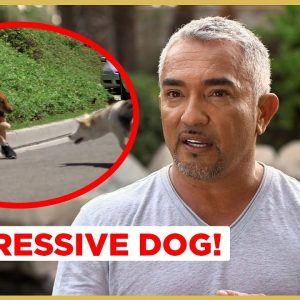 Can I help this AGGRESSIVE Dog ? (Cesar911 Shorts)
