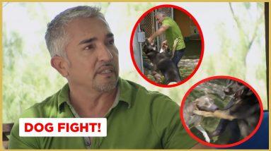 Breaking Up A Dog Fight (German Shepherd & Pitbull) | Cesar911 Shorts