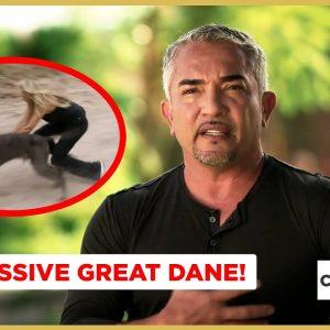 An Aggressive Great Dane! | Cesar 911 Shorts