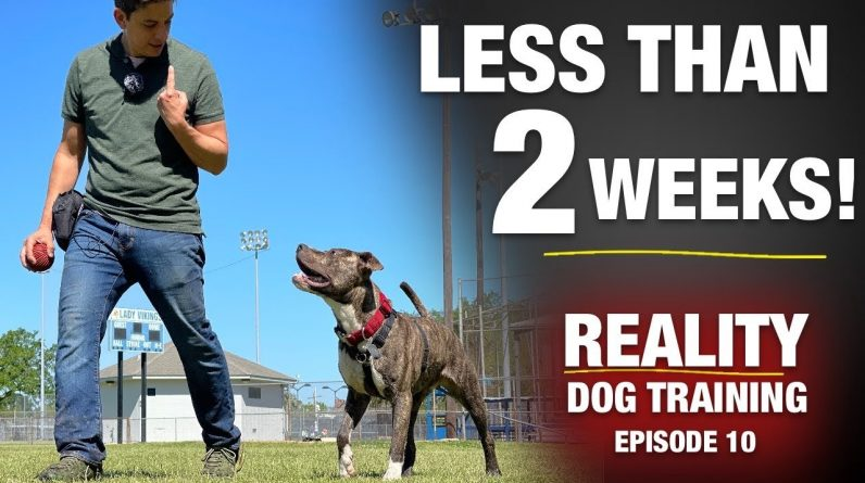 From Homeless Dog to THIS in Less than 2 Weeks. Really???  [Reality Dog Training Ep 10]