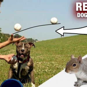 How I'm using 12 Baseballs to Train This Pit Bull to Listen to me!  [REALITY DOG TRAINING EP 15]