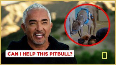Can this Pitbull pass Cesar's Final Test? (Better Human Better Dog Previews)